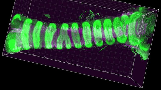 マウス気管の管腔構造