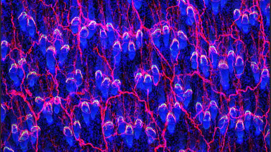 毛包幹細胞と神経ネットワーク
