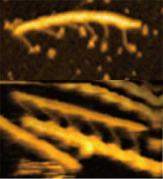 DNAオリガミにつなげたミオシン分子