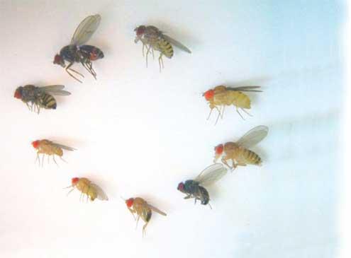 9種のハエのサイズの比較