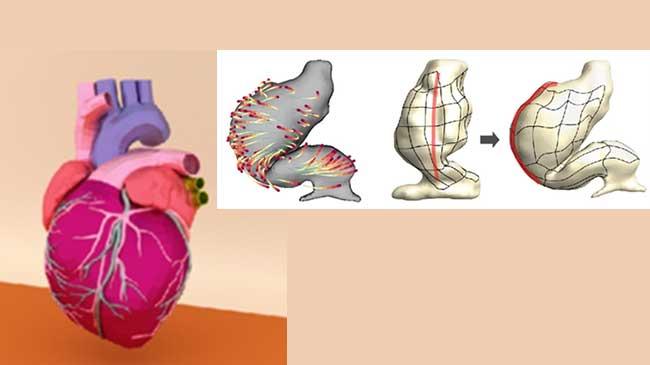 心臓の発生のモデリング