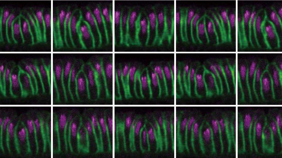 ショウジョウバエの細胞の陥入の蛍光写真