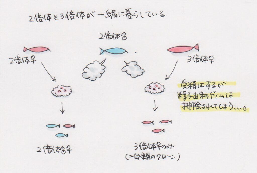 2倍体と3倍体のフナの生殖の違いの説明図
