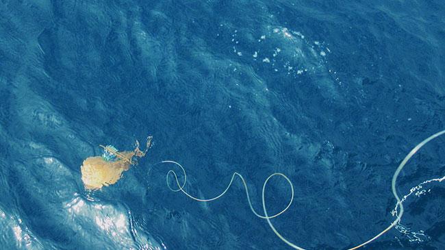 探査機をつけたシビレエイを海洋に放った様子