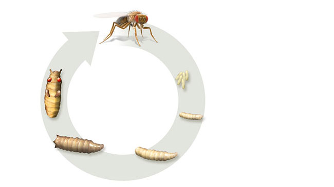 life cycle of fruit fly