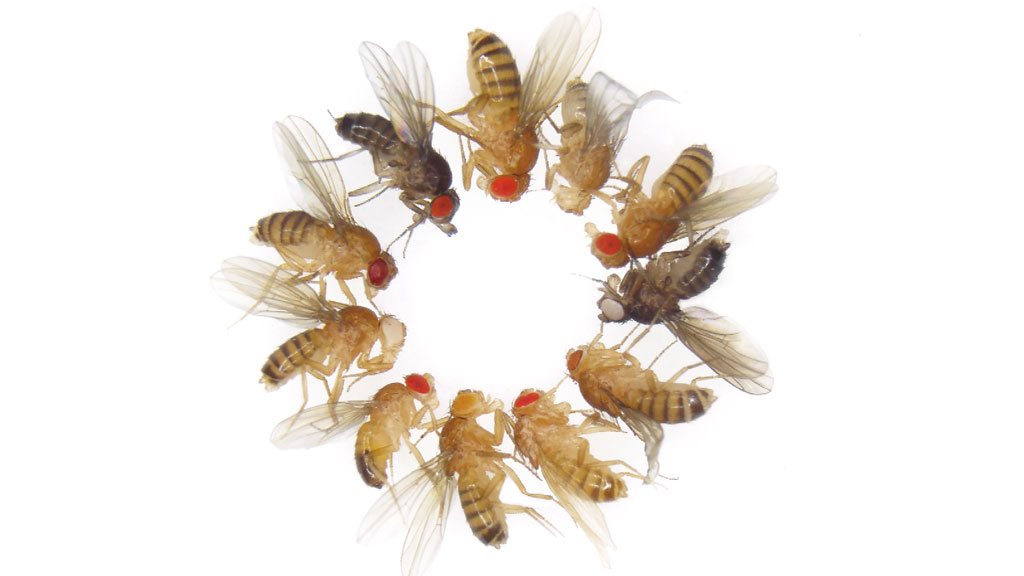 fruit fly mutants
